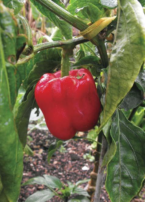 Red-Capsicum-plant