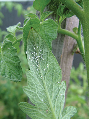 Whitefly-on-tomatoes