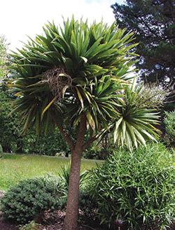 cabbage tree 1