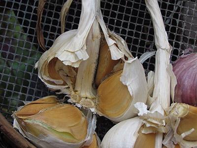 garlic glory 2