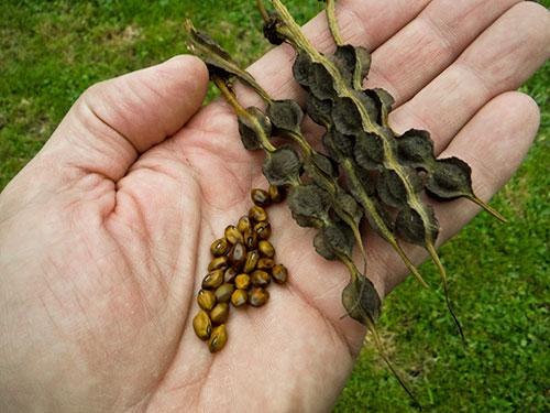 germination2