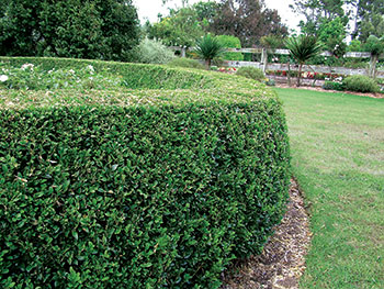 hedge-tips-1