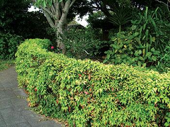 hedge-tips-2