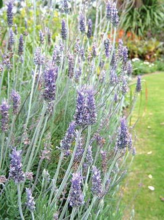 lavendar-plant
