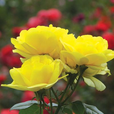 modern roses 10