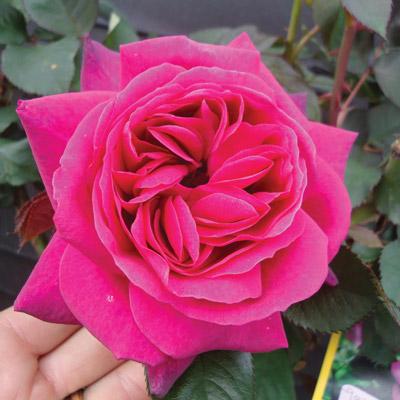 modern roses 11