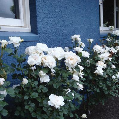 modern roses 3