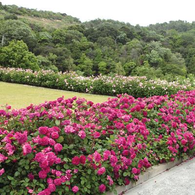 modern roses 4