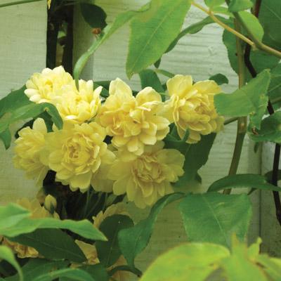 modern roses 5