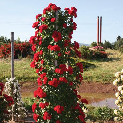 modern roses 6