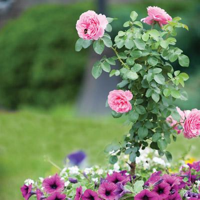 modern roses 7