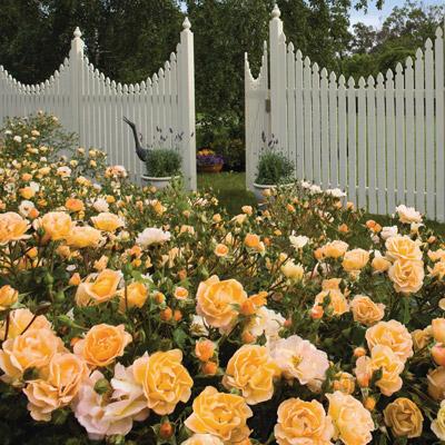 modern roses 9