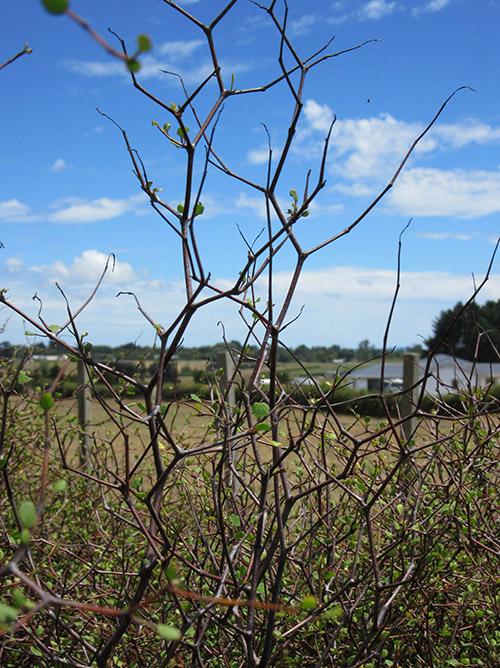 nativeshrubs 3