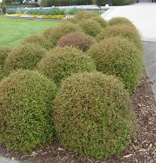 nativeshrubs 4
